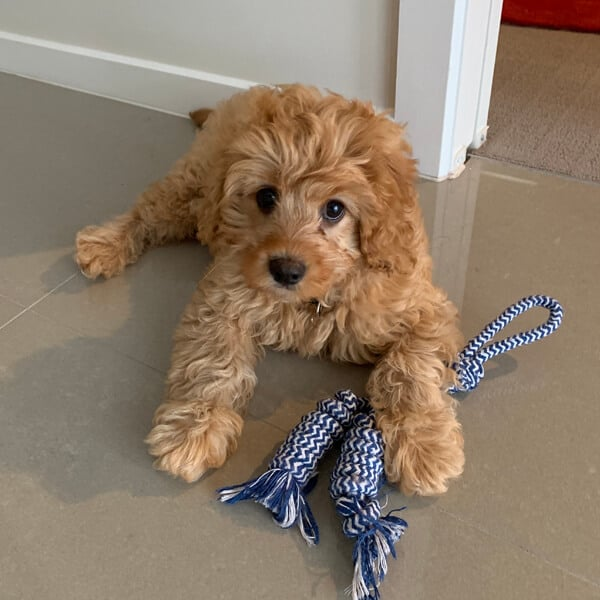 tan toy cavoodle laying on a tiled floor.