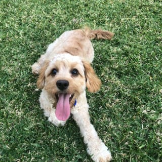 a golden cavoodle puppy laying on the grass.
